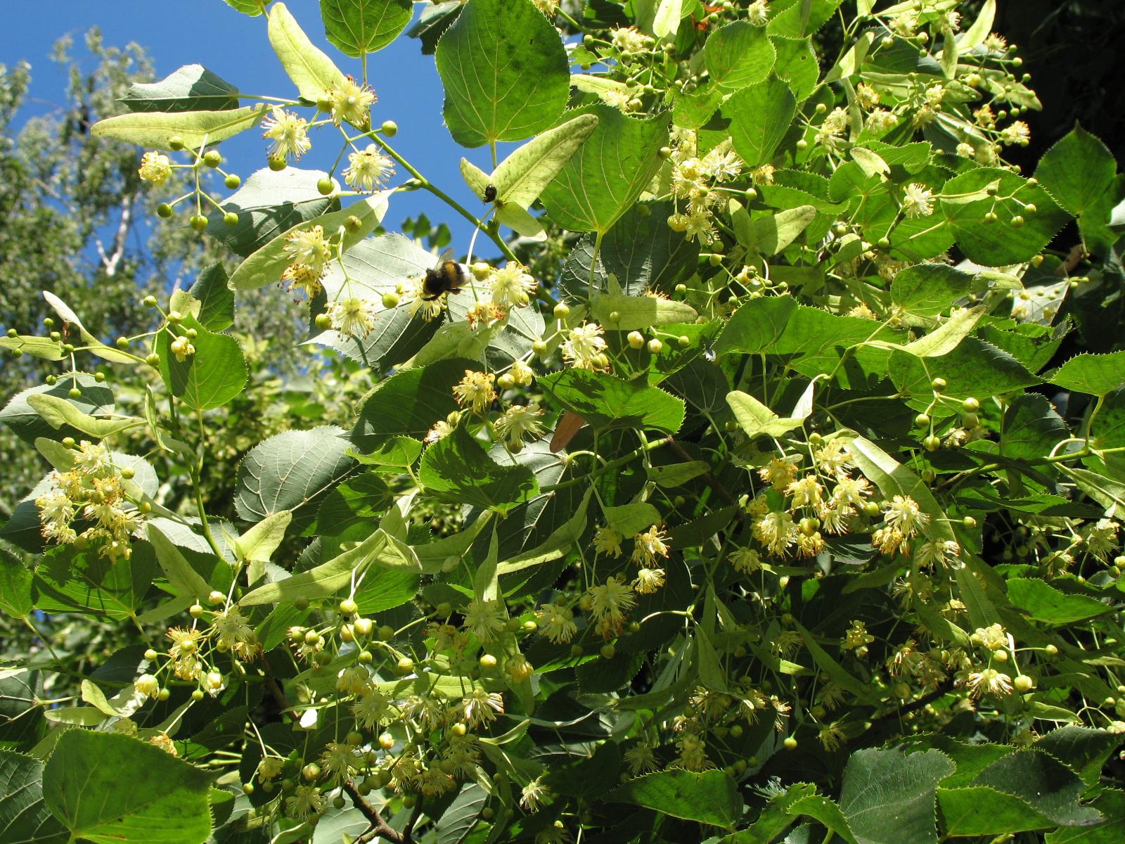 Fullsize Of Linden Tree Smell