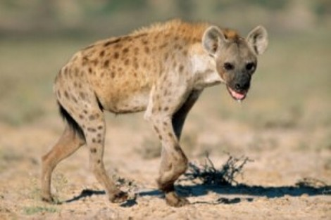 Panic in Benue State University as Hyena Escape From Zoo
