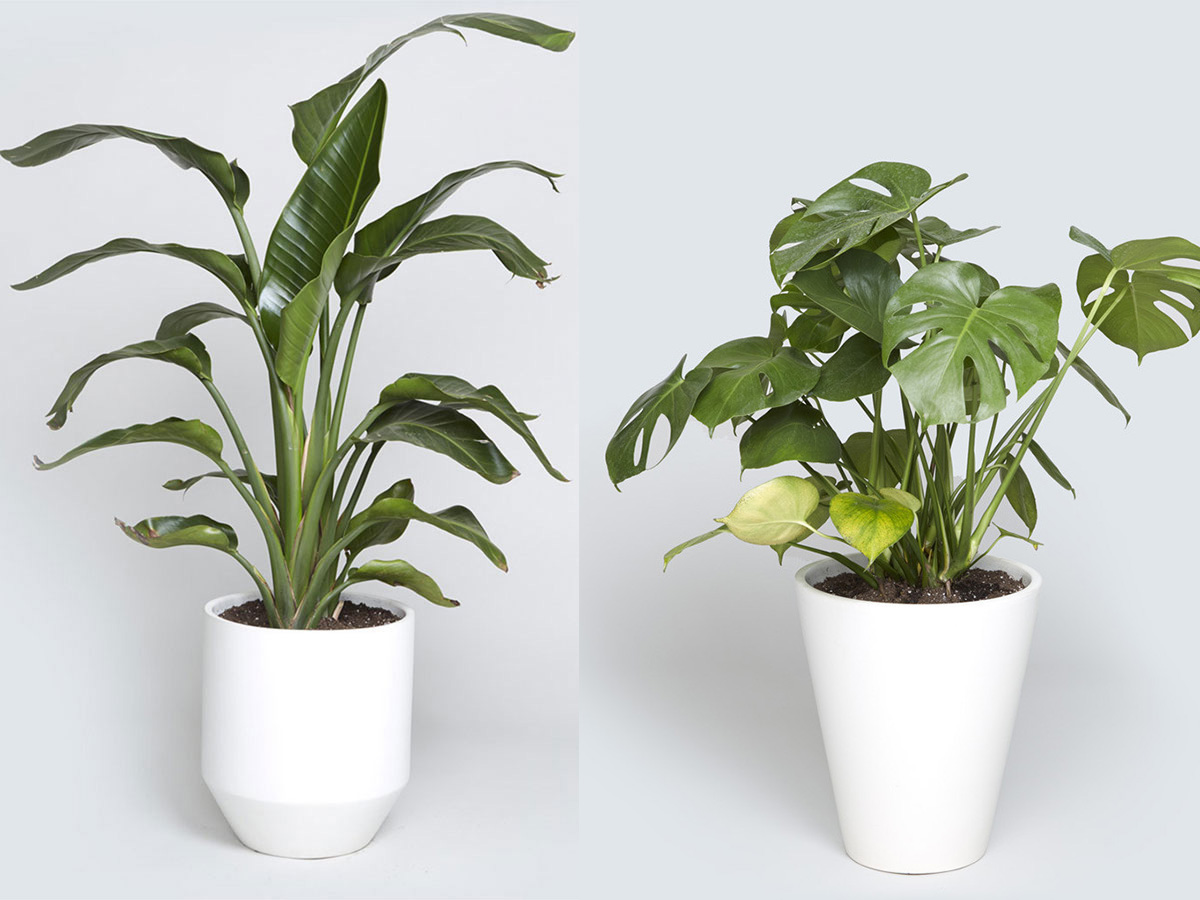 Tall Live Indoor Plants Indoor Tree Options You Can Grow Using A Bios Urn