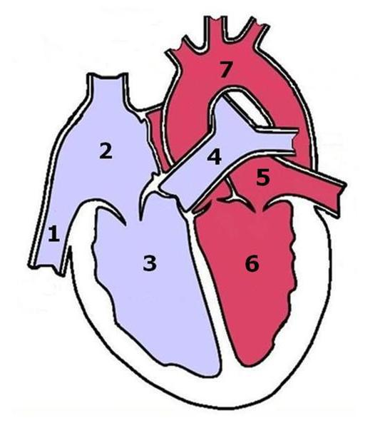 Which numbers in the image represent the parts of the heart used to