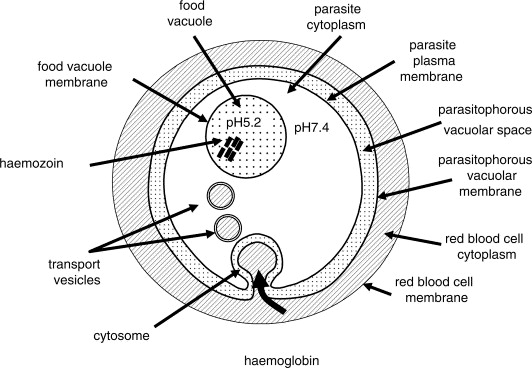 red blod cell diagram
