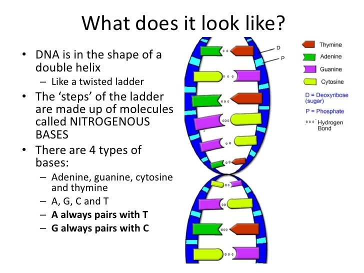 What Is The Shape Of Dna Called A Figure 8 B Double