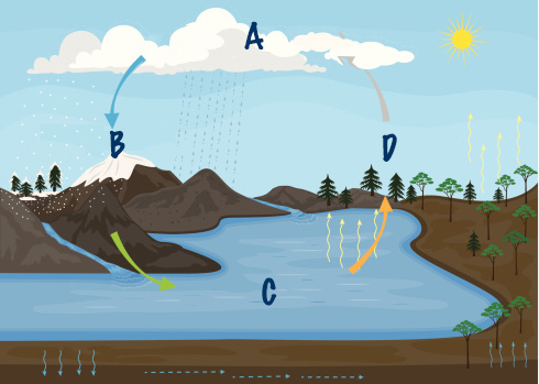 Which part of the water cycle would follow step C in the diagram