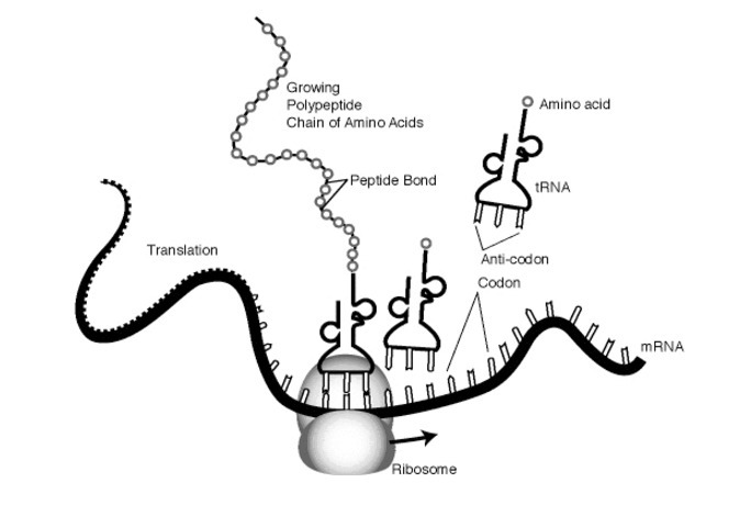 Translation and protein synthesis is taking place at the ribosome in