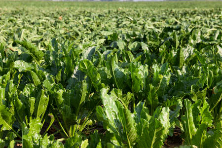 Agricultural Field On Which Grow Beets For Sugar Production
