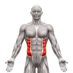 外腹斜筋の筋肉解剖学白 - 3 D イラストレーションで隔離 写真素材 - 58756498