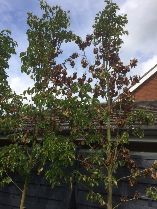 Medium Of Ornamental Pear Tree