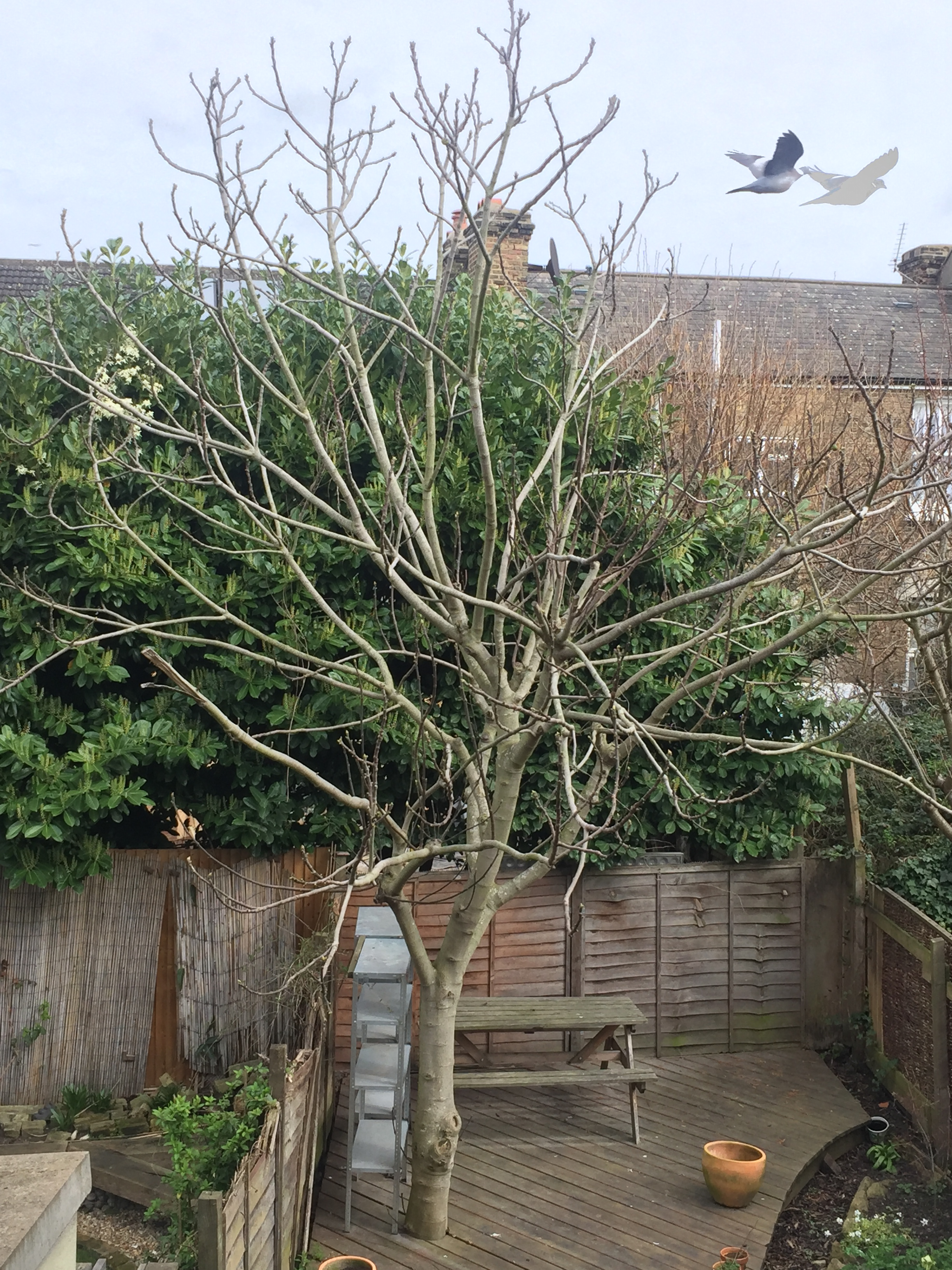 Fullsize Of How To Prune A Fig Tree