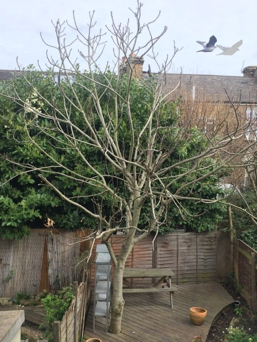 Medium Of How To Prune A Fig Tree