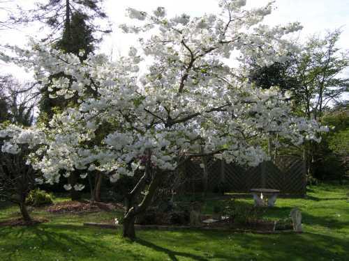 Medium Of Stella Cherry Tree