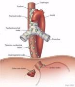 Trachea Esophagus Diagram