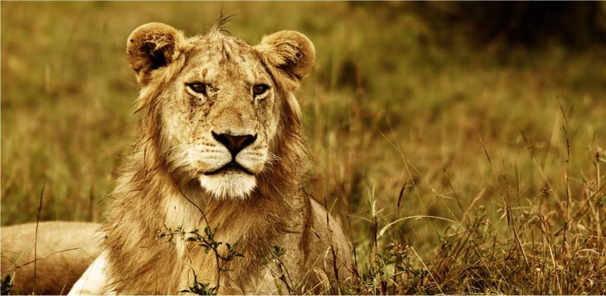 90 Lion Names  Meanings PetHelpful