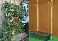 Container Tomato Gardening | Dengarden