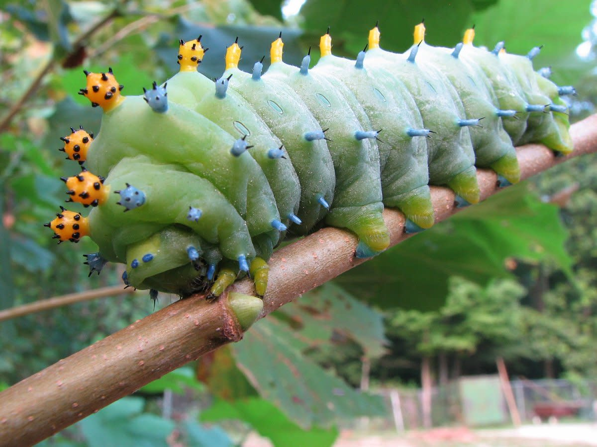 Caterpillar Types and Identification Guide Owlcation