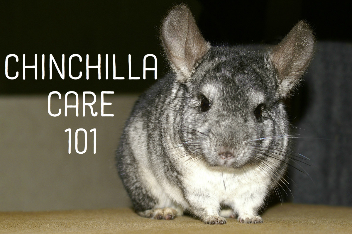 Everything You Need to Know About Caring for Chinchillas PetHelpful