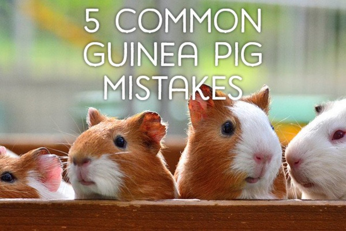 5 Common Mistakes Guinea Pig Owners Make PetHelpful