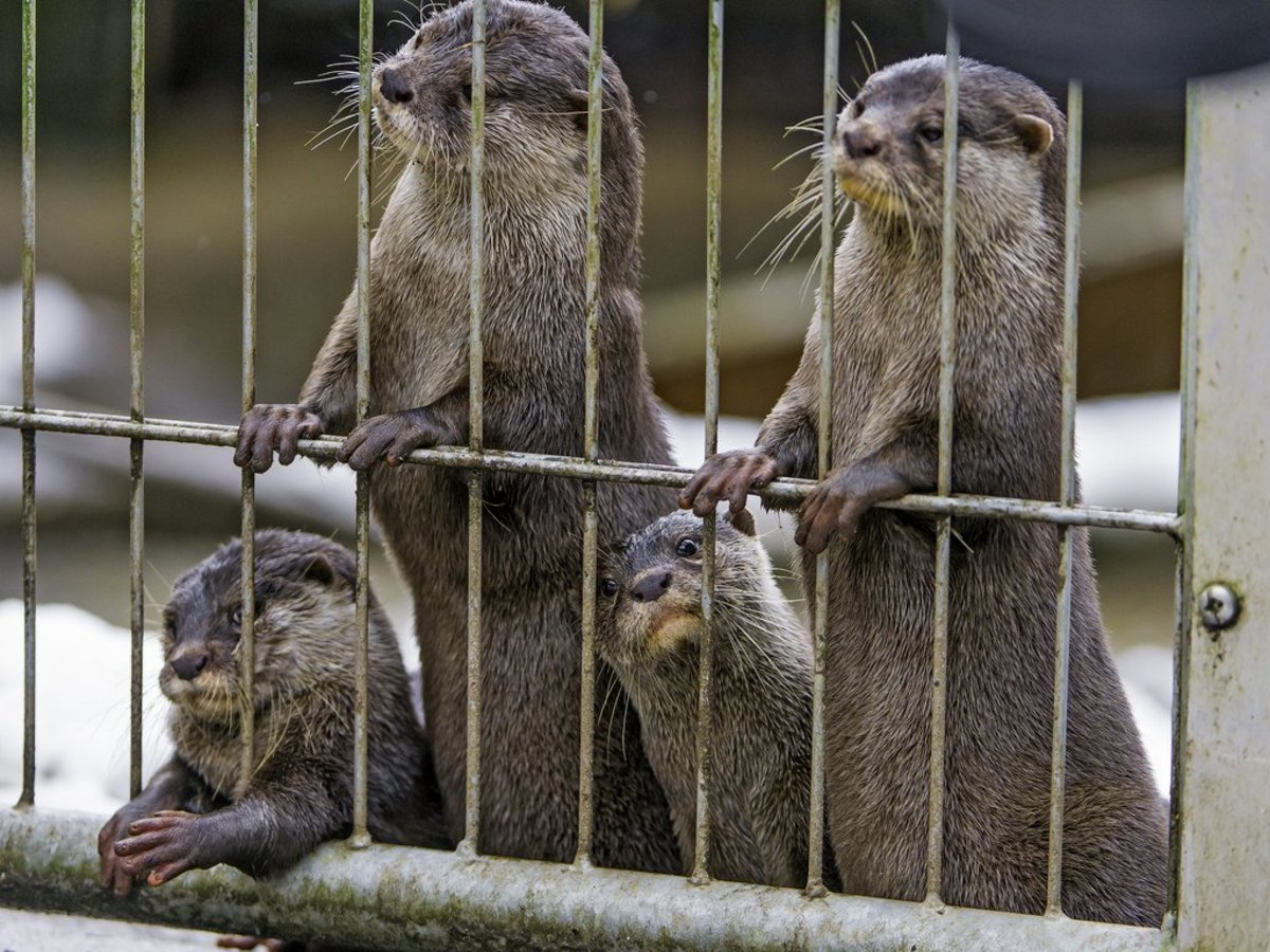 Pet Otter Australia A Guide To Legally Owning And Caring For A Pet Otter Pethelpful