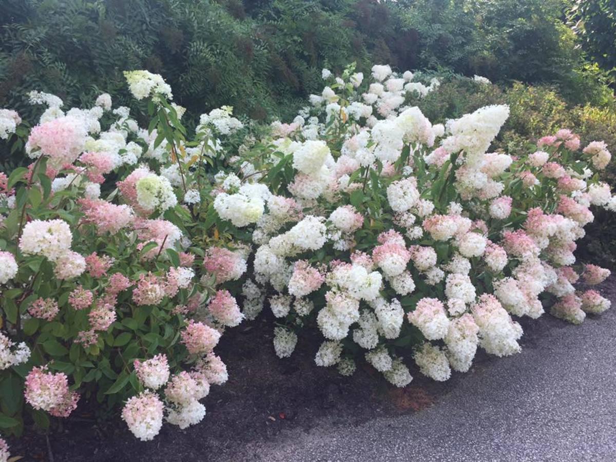 Fullsize Of Strawberry Vanilla Hydrangea