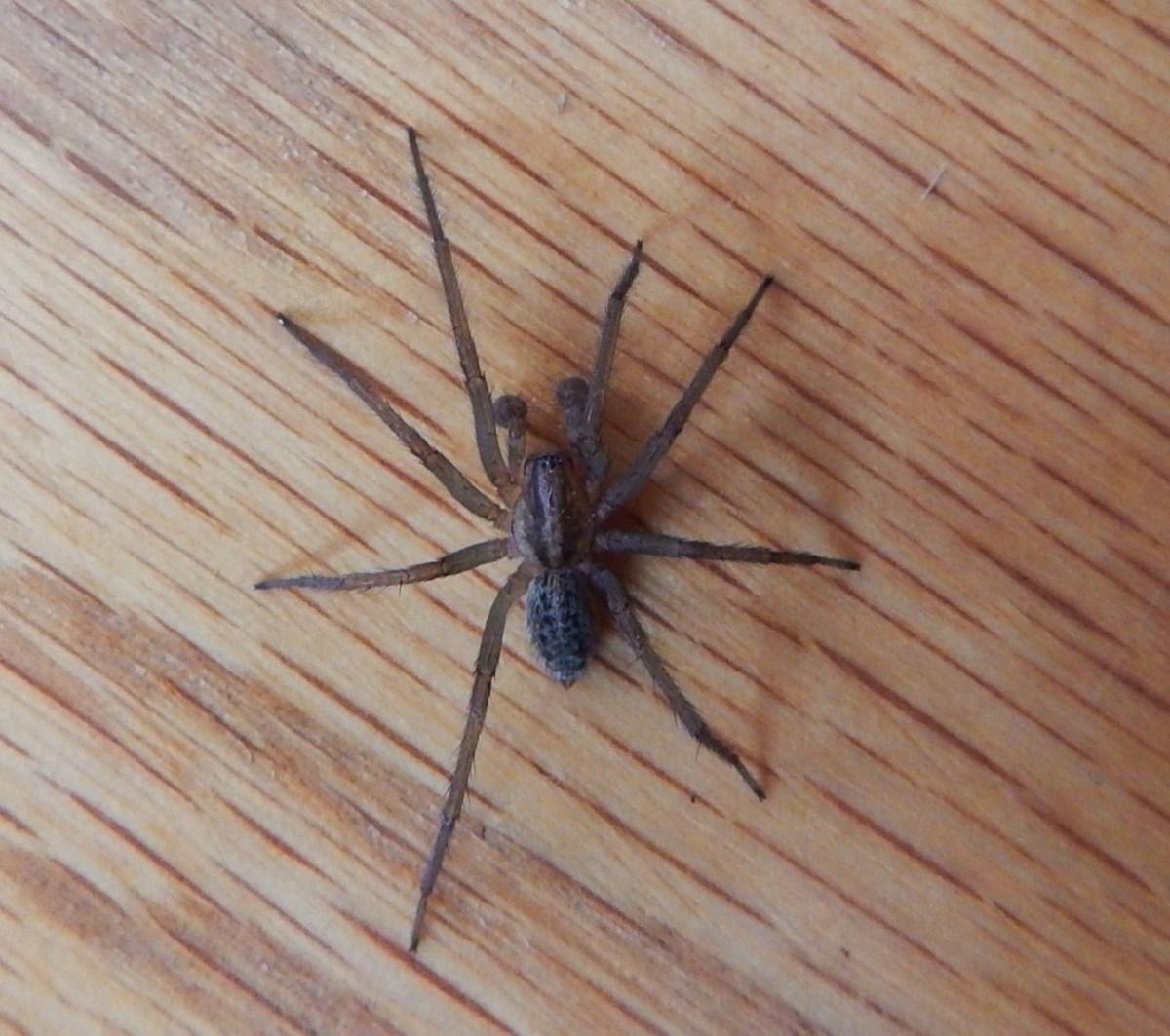 US Poisonous Spiders Black Widow, Brown Recluse,  Hobo Dengarden