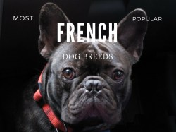 Small Of French Dog Breeds
