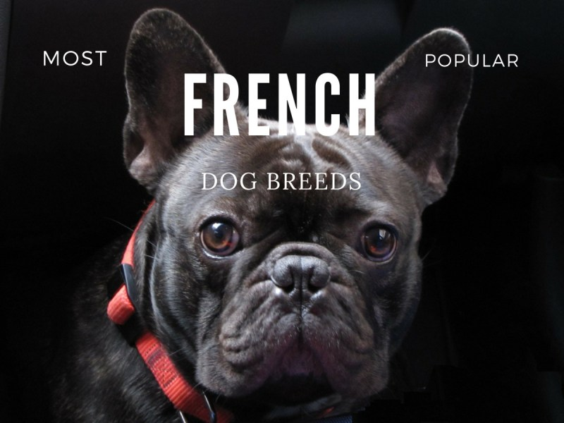Large Of French Dog Breeds