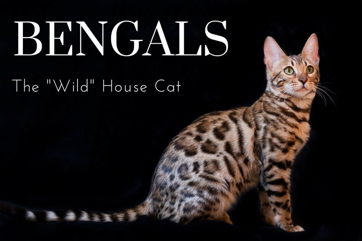 The Joys and Hazards of Living With a Pet Bengal Cat PetHelpful