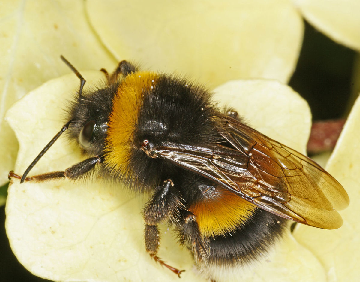 How To Treat a Bee Sting Naturally RemedyGrove