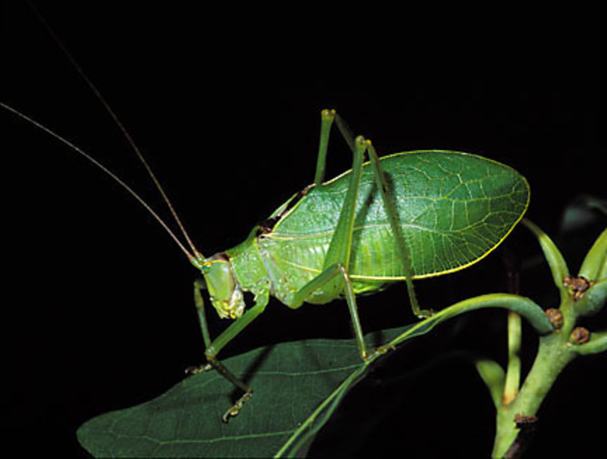 Green Bugs That Bite Katydid - Summer Music Maker | Hubpages