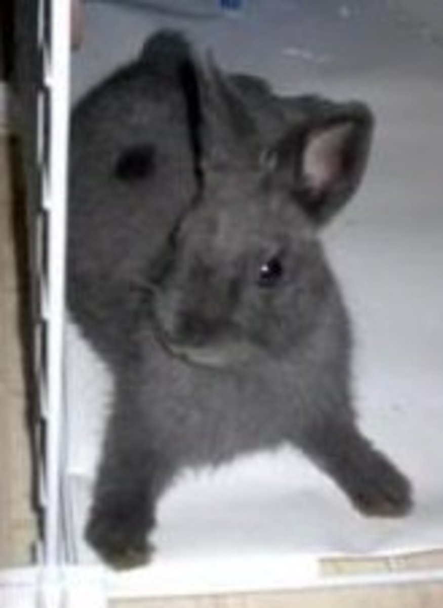Rabbit breed profile The Netherland Dwarf PetHelpful