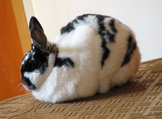 How to Raise a Pet Rabbit Indoors PetHelpful