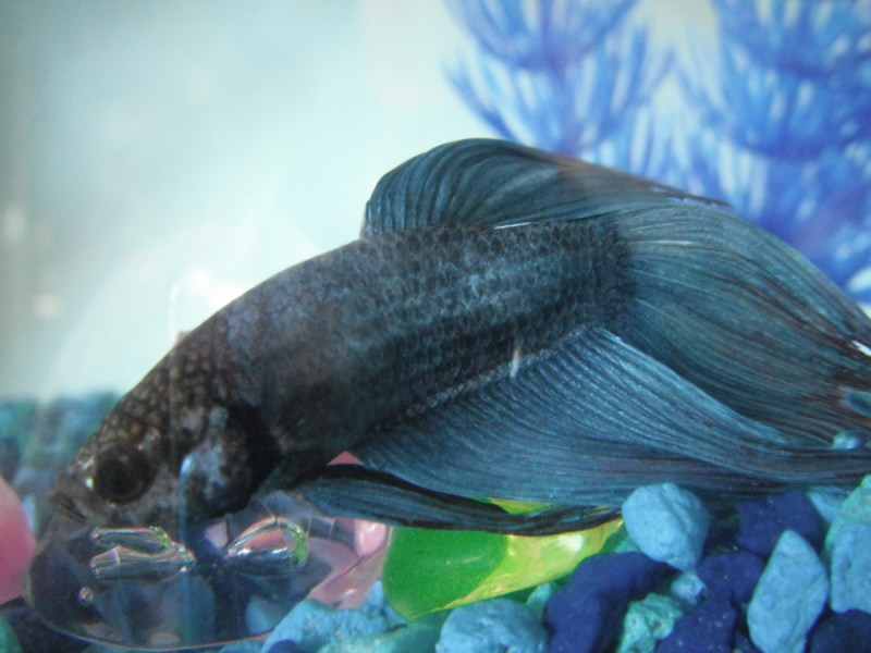 Large Of Betta Fish Not Eating