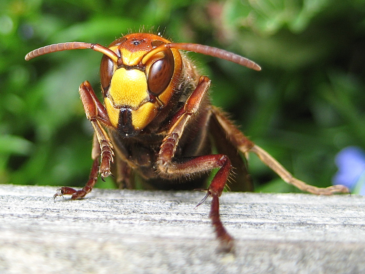 Hoornaar In Huis Interesting Facts About Hornets Large Wasps With Paper