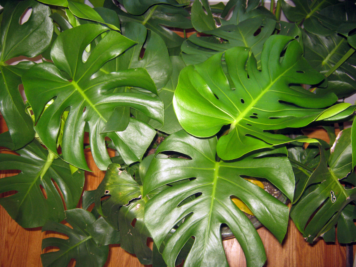 Large Leaf Houseplant Easy Houseplant Swiss Cheese Plant Or Monstera Deliciosa