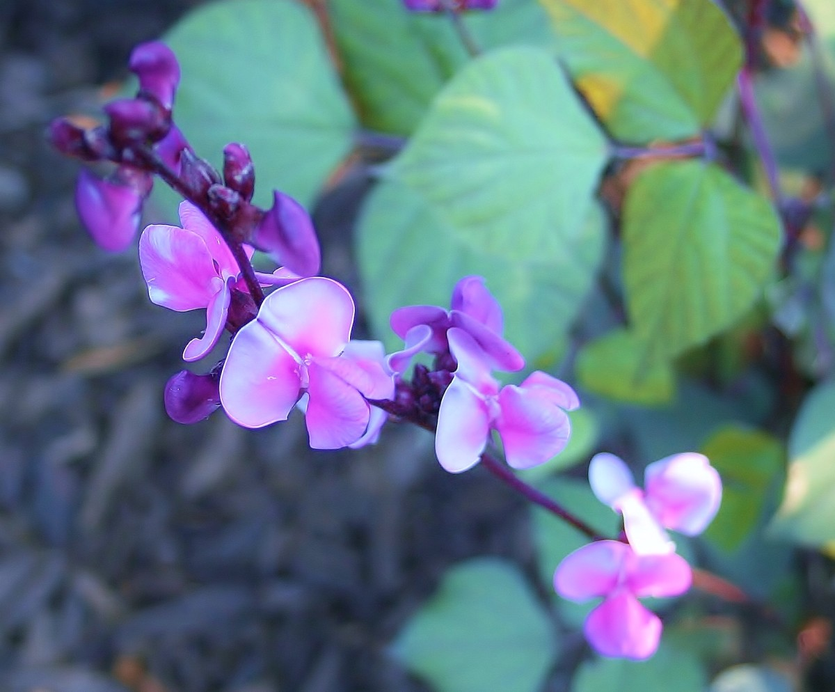Fullsize Of Hyacinth Bean Vine
