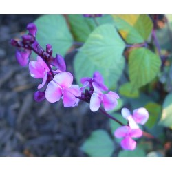 Small Crop Of Hyacinth Bean Vine