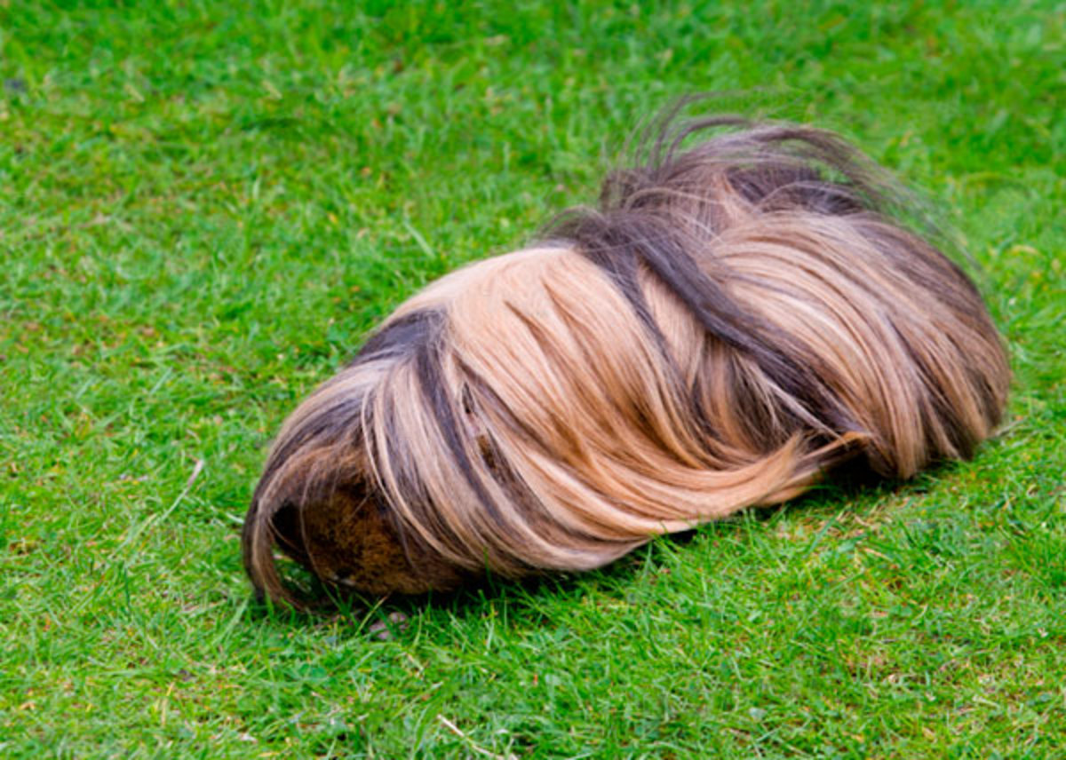 Caring For A Long Haired, Peruvian Guinea Pig PetHelpful