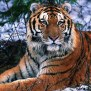 plain-tiger-danaus-chrysippus Bali Tiger