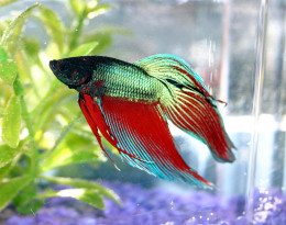 Care and Feeding Tips for a Happy Betta Fish