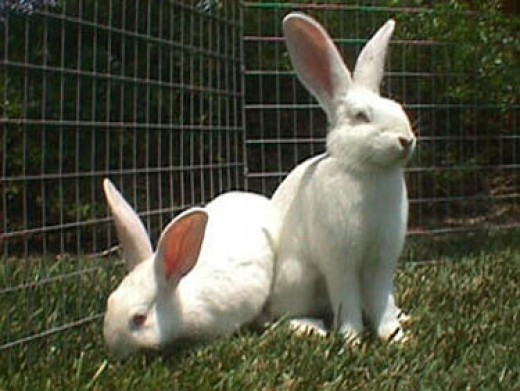 Bunny Breed Guide New Zealand White Rabbit PetHelpful