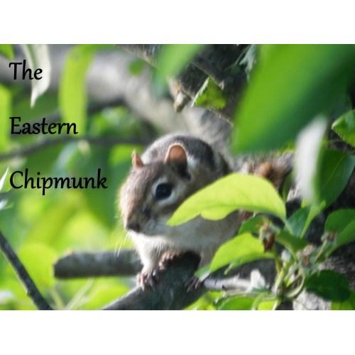 Medium Crop Of Get Rid Of Chipmunks