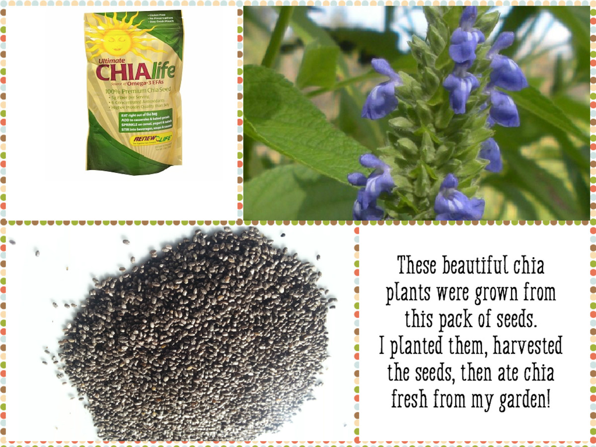 How I Grow And Harvest Organic Chia Seeds | Dengarden