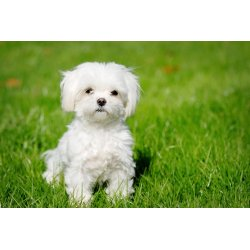 Small Crop Of White Fluffy Dog Breeds