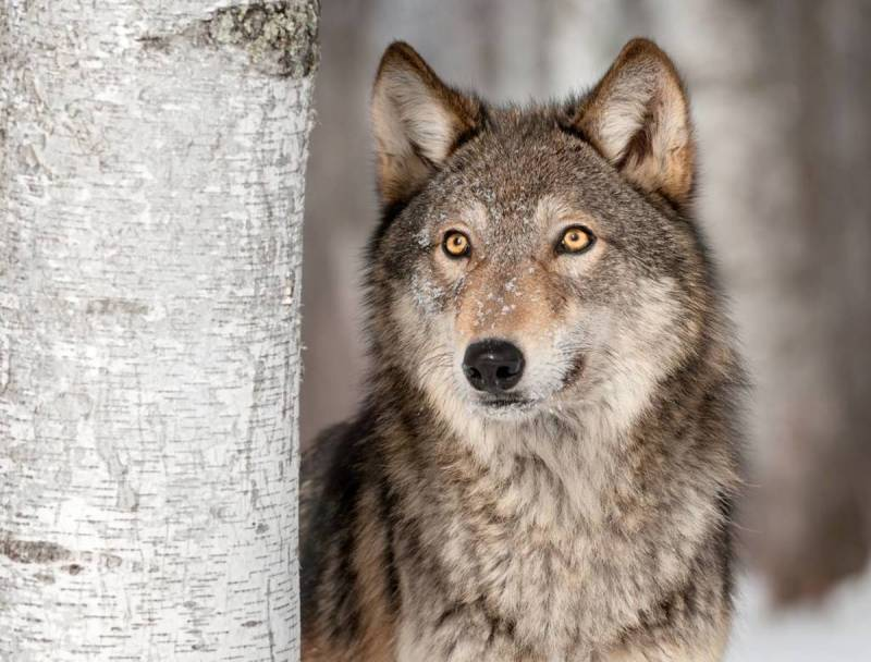 Large Of Dogs That Look Like Wolves
