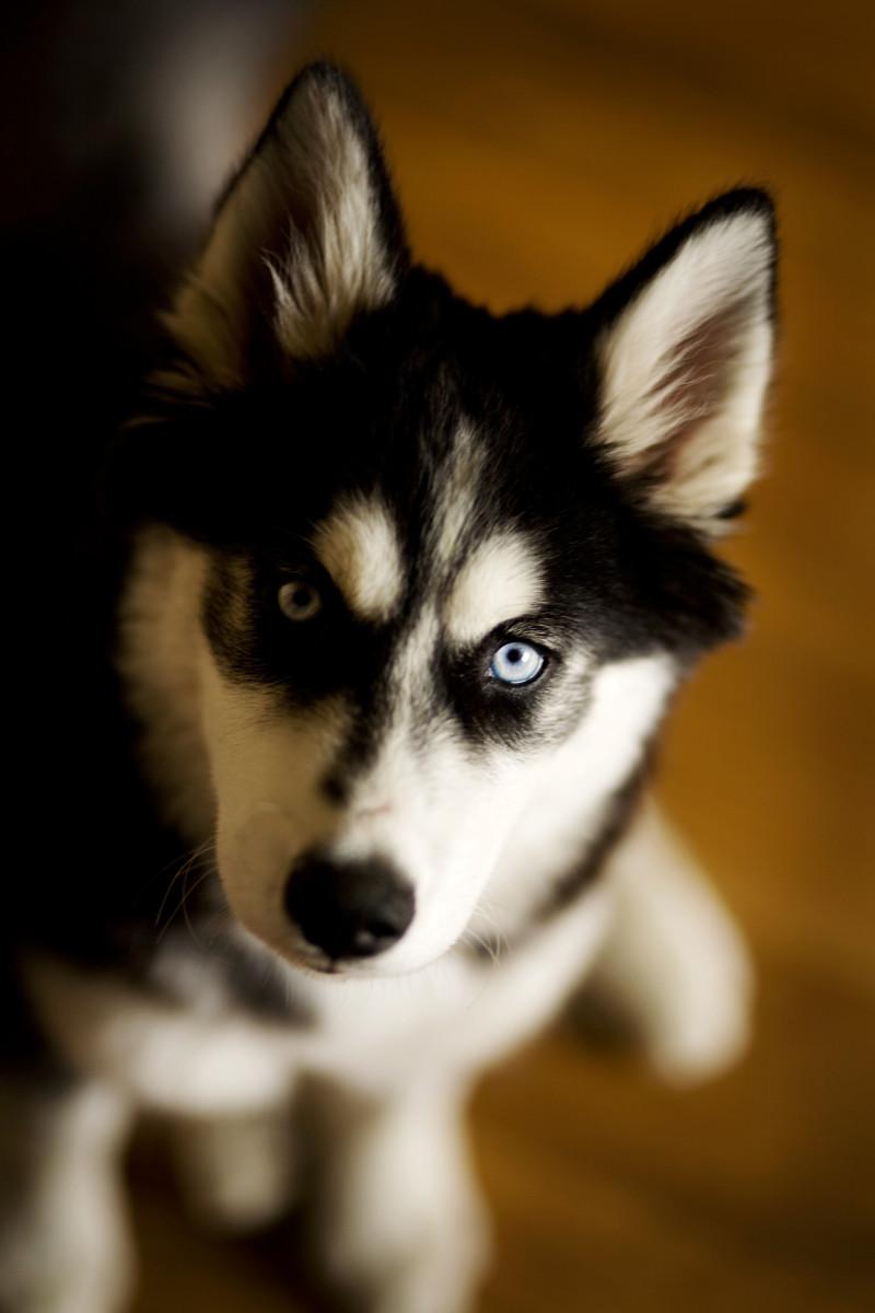 Fullsize Of Types Of Huskies