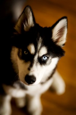 Small Of Types Of Huskies