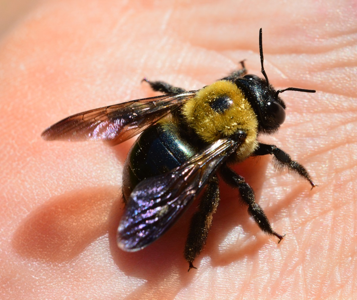 Bees, Pollination, and Habitat Loss Owlcation