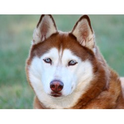 Small Crop Of Dog Breeds That Look Like Wolves