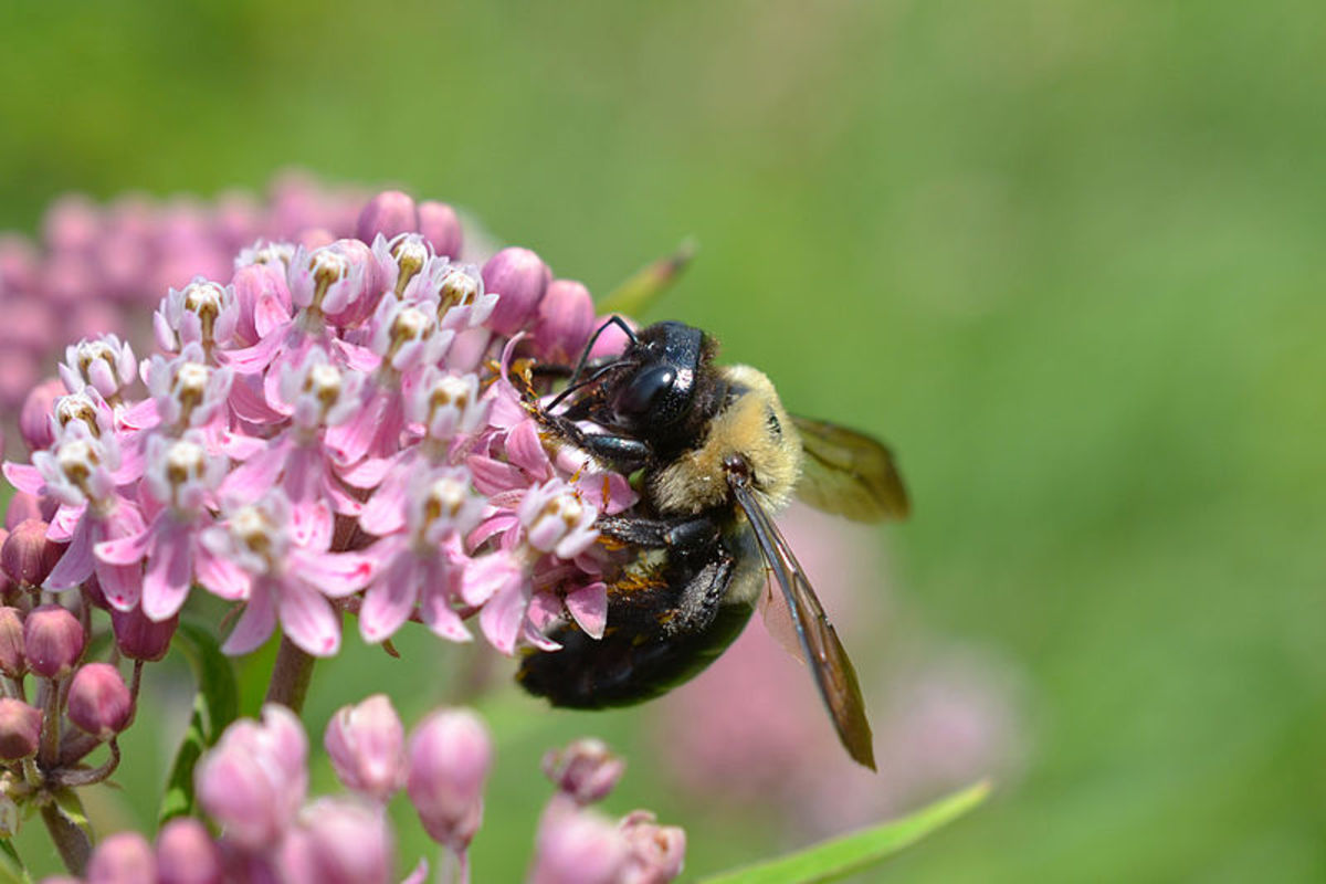How to Identify and Get Rid of Carpenter Bees Dengarden