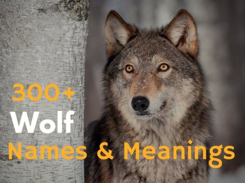 Medium Of Famous Wolf Names