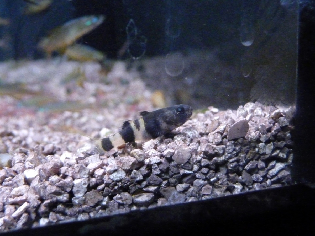 Caring for the Freshwater Bumblebee Goby PetHelpful